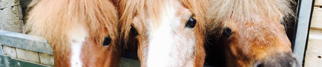Portrait de 3 poneys