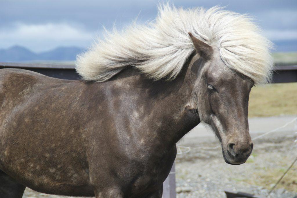 prendre soin de la crinière de son cheval