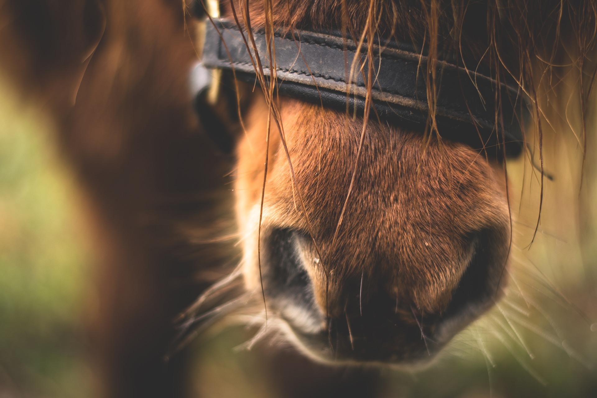 races de poneys
